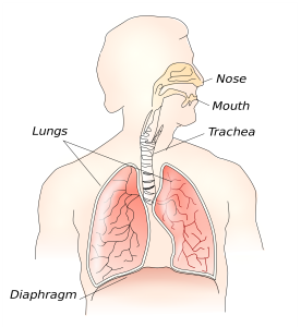 vocal anatomy